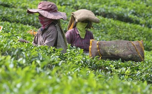 Tea prices gain steam on demand, lower arrivals in Kochi sale