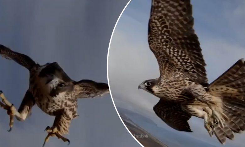 A falcon stole my drone!