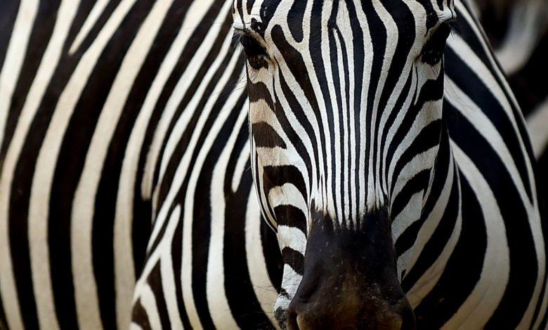 D.C. Rep. Eleanor Holmes Norton Denies Letting Zebras on the Loose